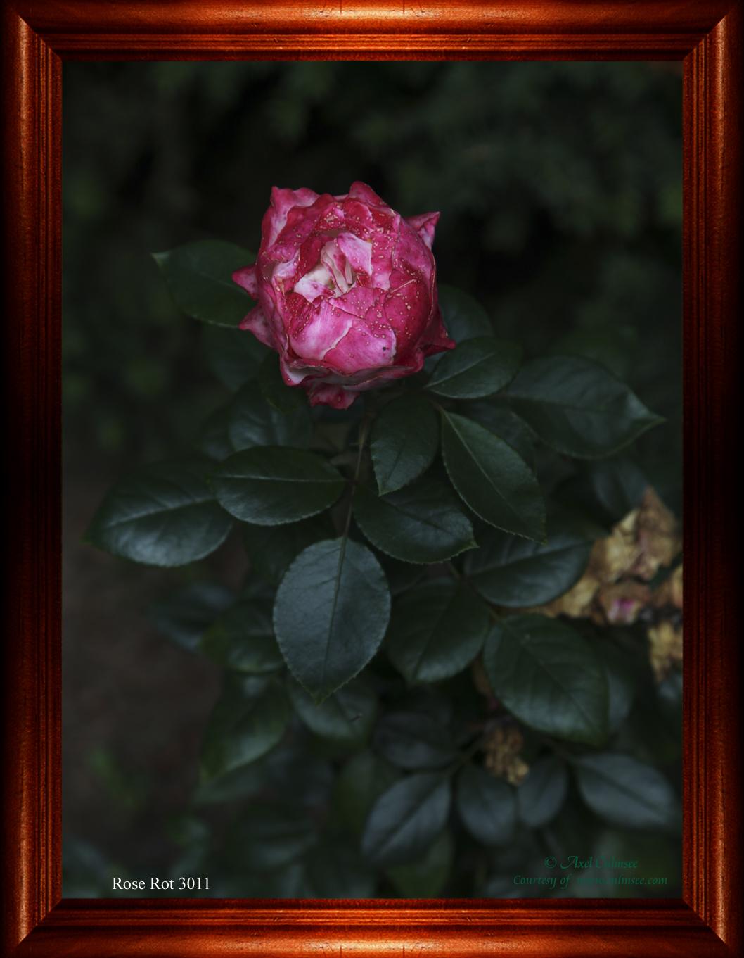 Rose Rot 3011