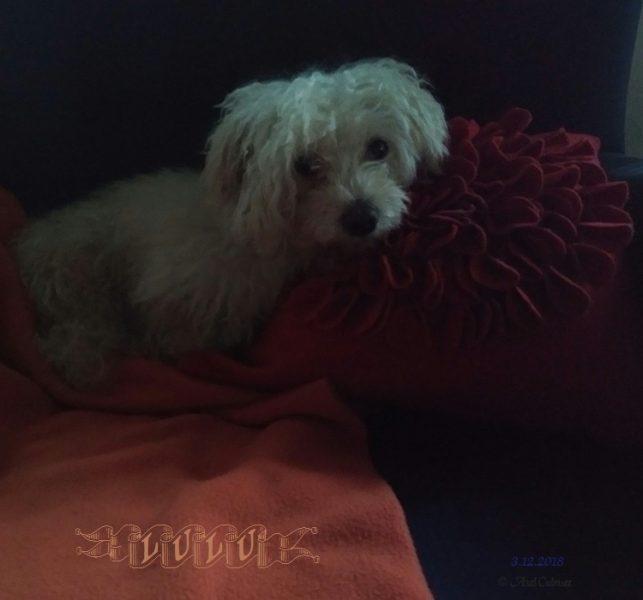 Maltese LuLu in having a seat