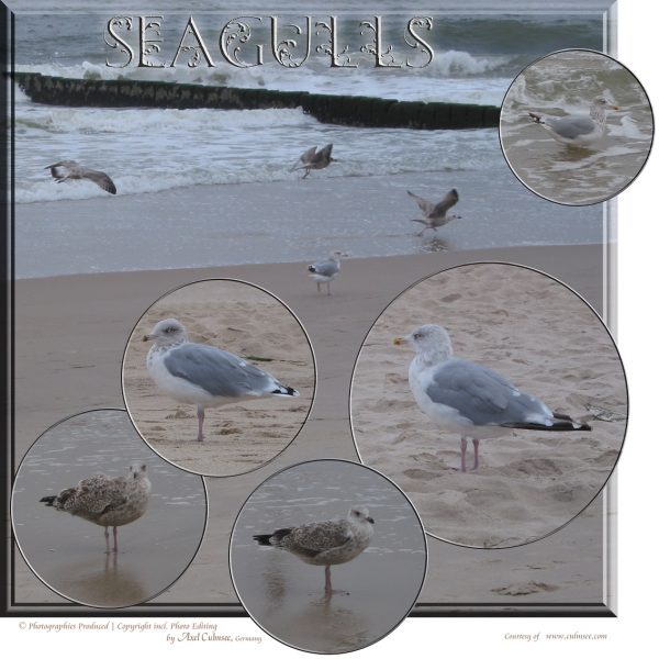 seagulls at Sylt