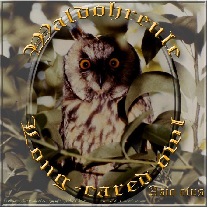 Waldohreule / Long-eared owl (Asio otus)