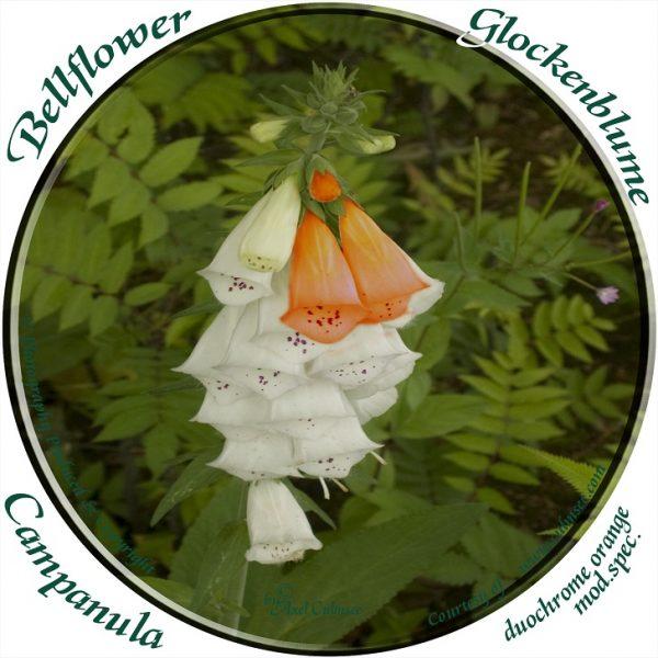 Glockenblume Bellflower mod.