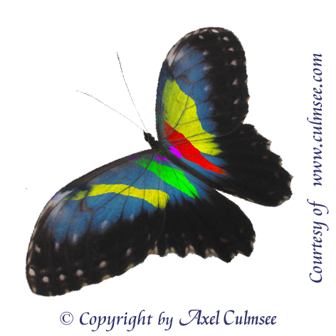 Butterfly morphed-14