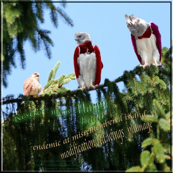 endemic Harpy Eagle meets Kestrel