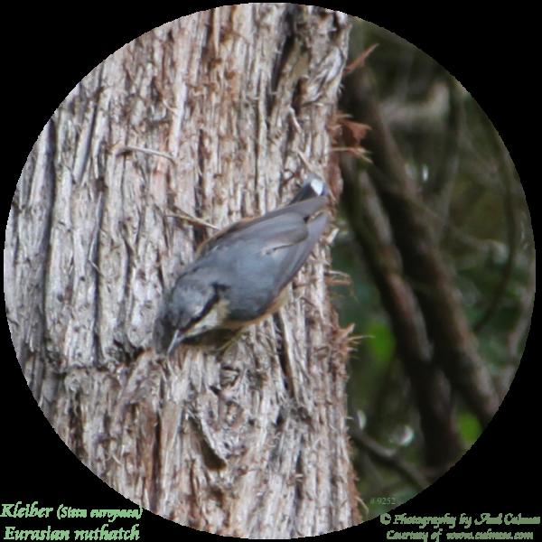 Kleiber (Sitta europaea) Eurasian nuthatch
