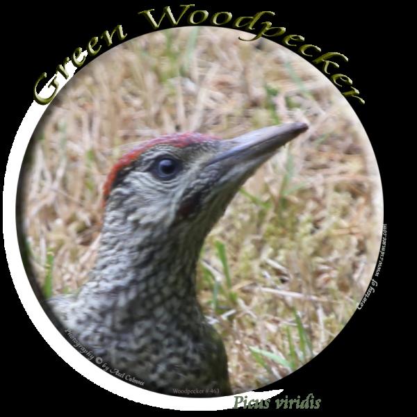 Grreen Woodpecker 363