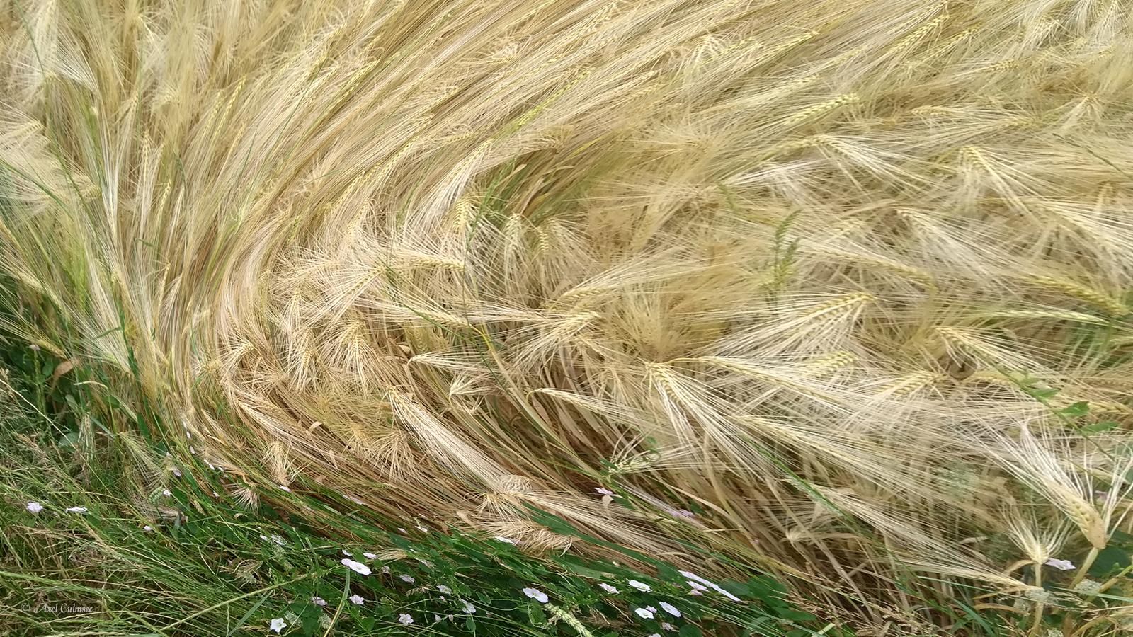 Zeitenwind-Strudel Gerste