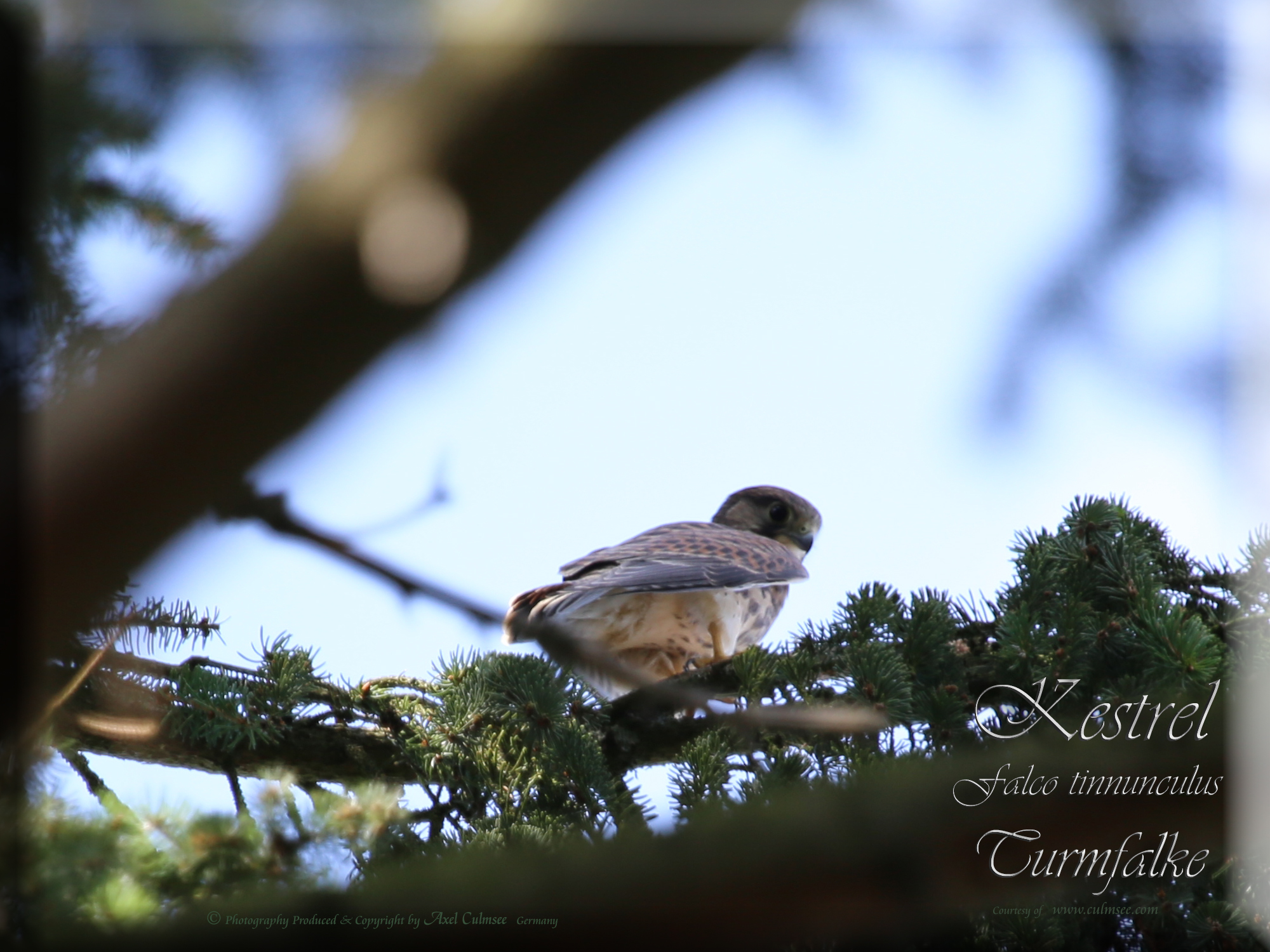 Kestrel Falco tinnunculus Turmfalke 534