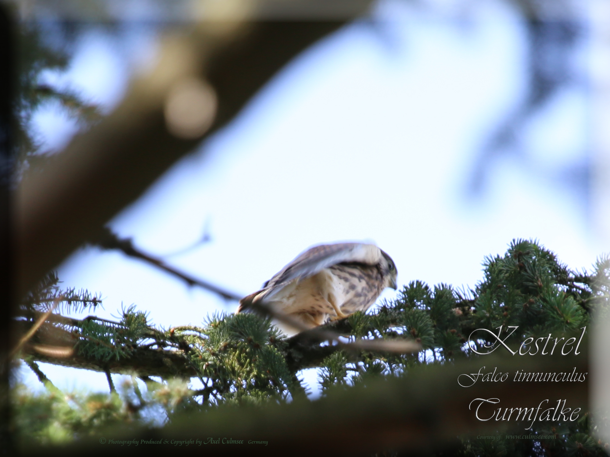 Kestrel Falco tinnunculus Turmfalke 537