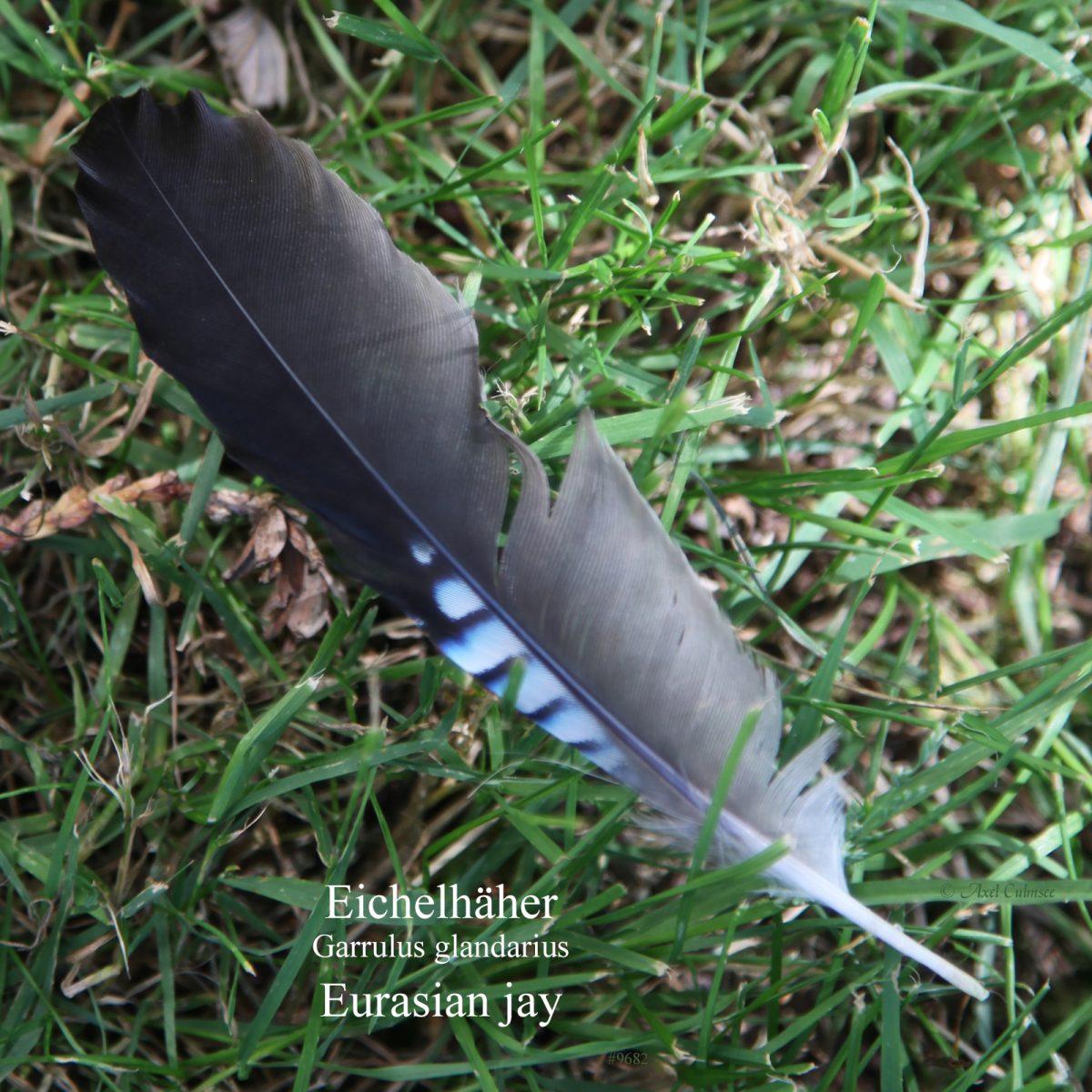 feather Eurasian jay Garrulus glandarius Eichelhaeher