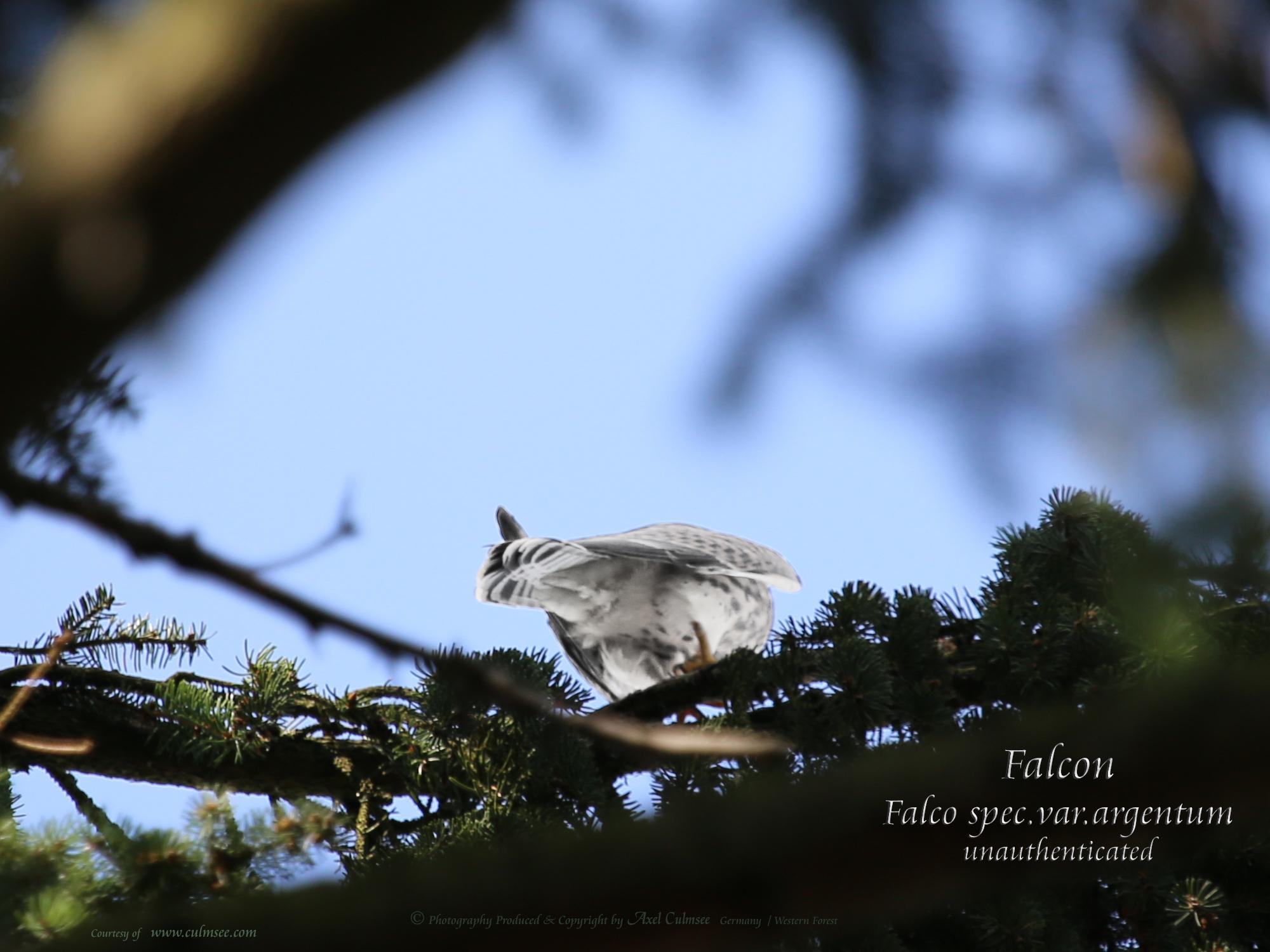 Falcon spec.var. argentum - unconfirmed