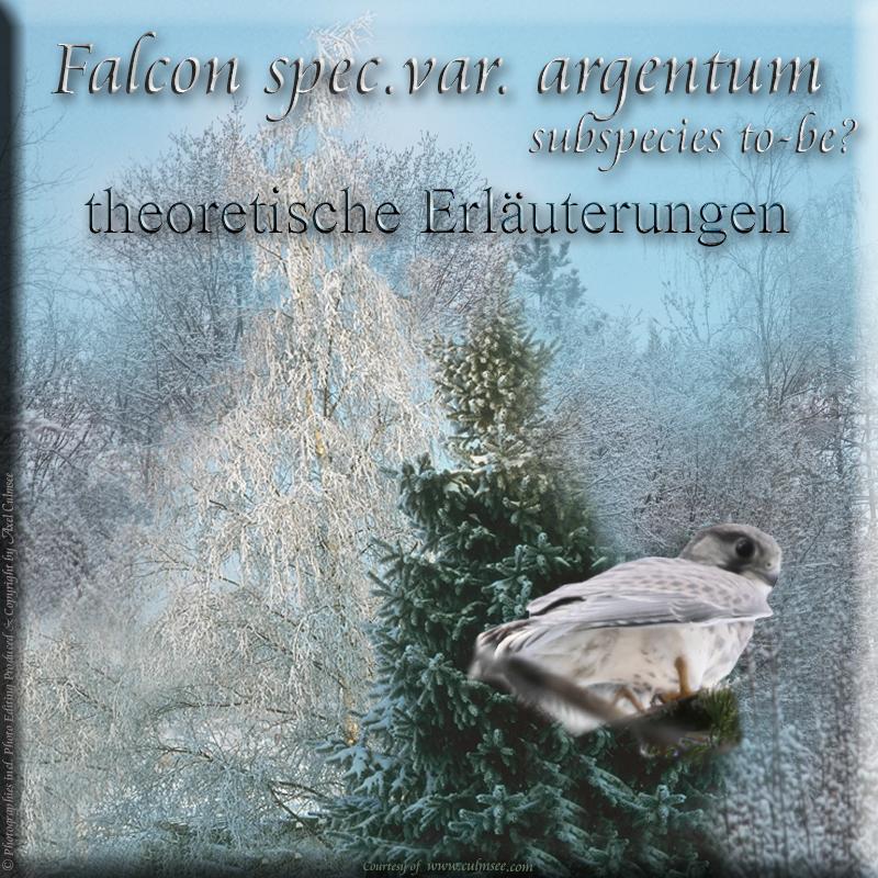 Falcon spec.var. argentum Subspezies in spe