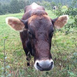 Kuh auf Waldwiese im Westerwald