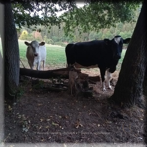 Cows at glade Western Forest