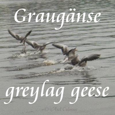 Greylag goose, Graugans, Anser anser L.
