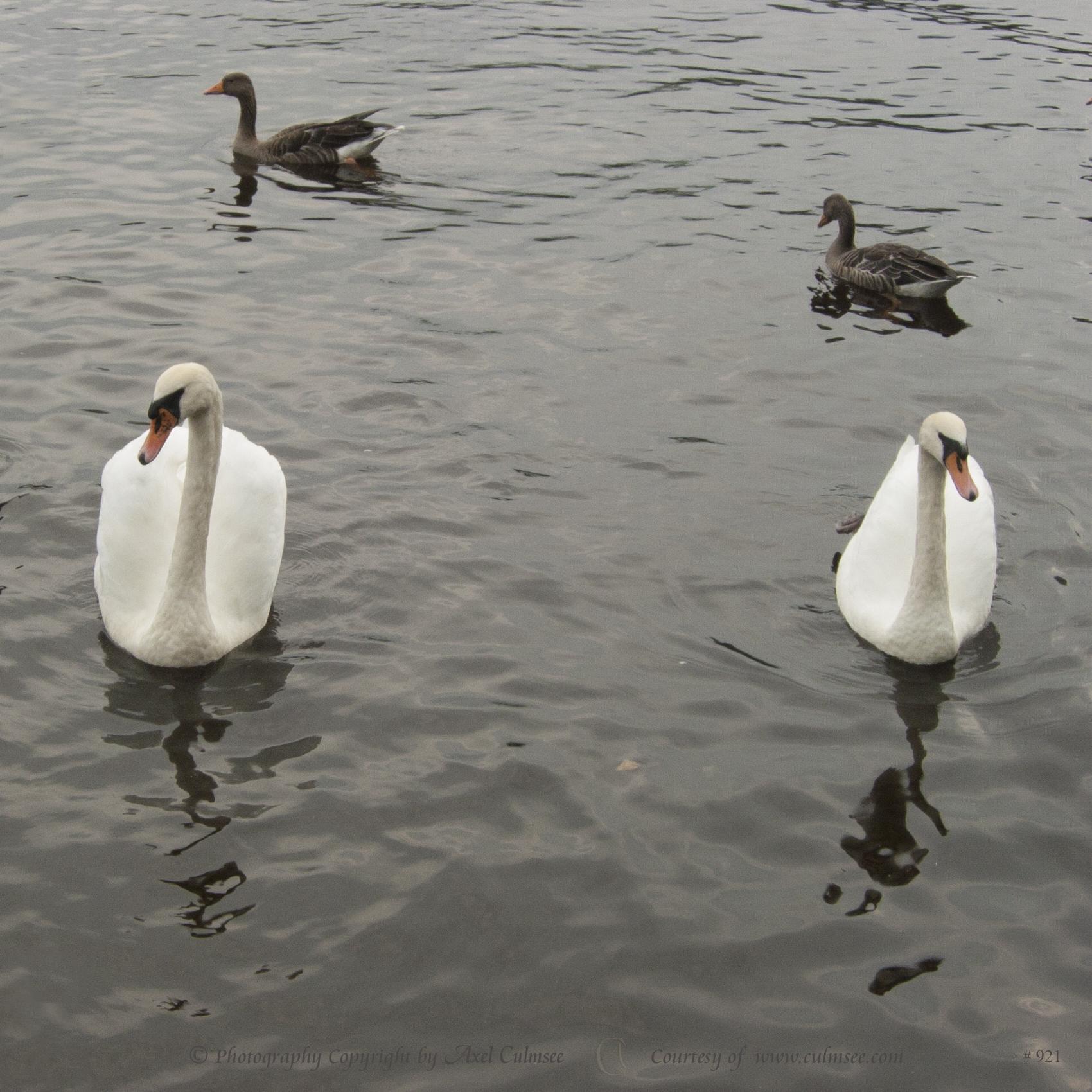 Greylag goose, Graugans, Anser anser L. and Mute swan