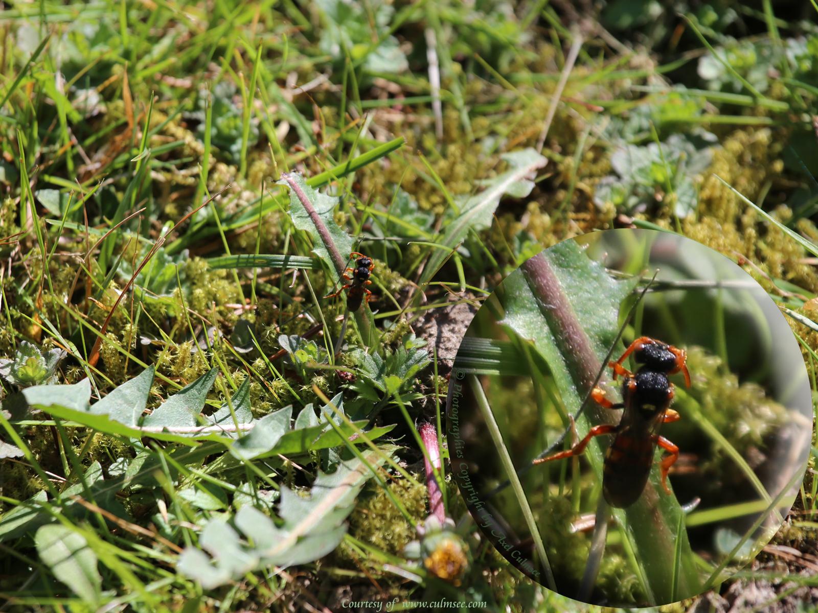 Insekt auf Loewenzahn