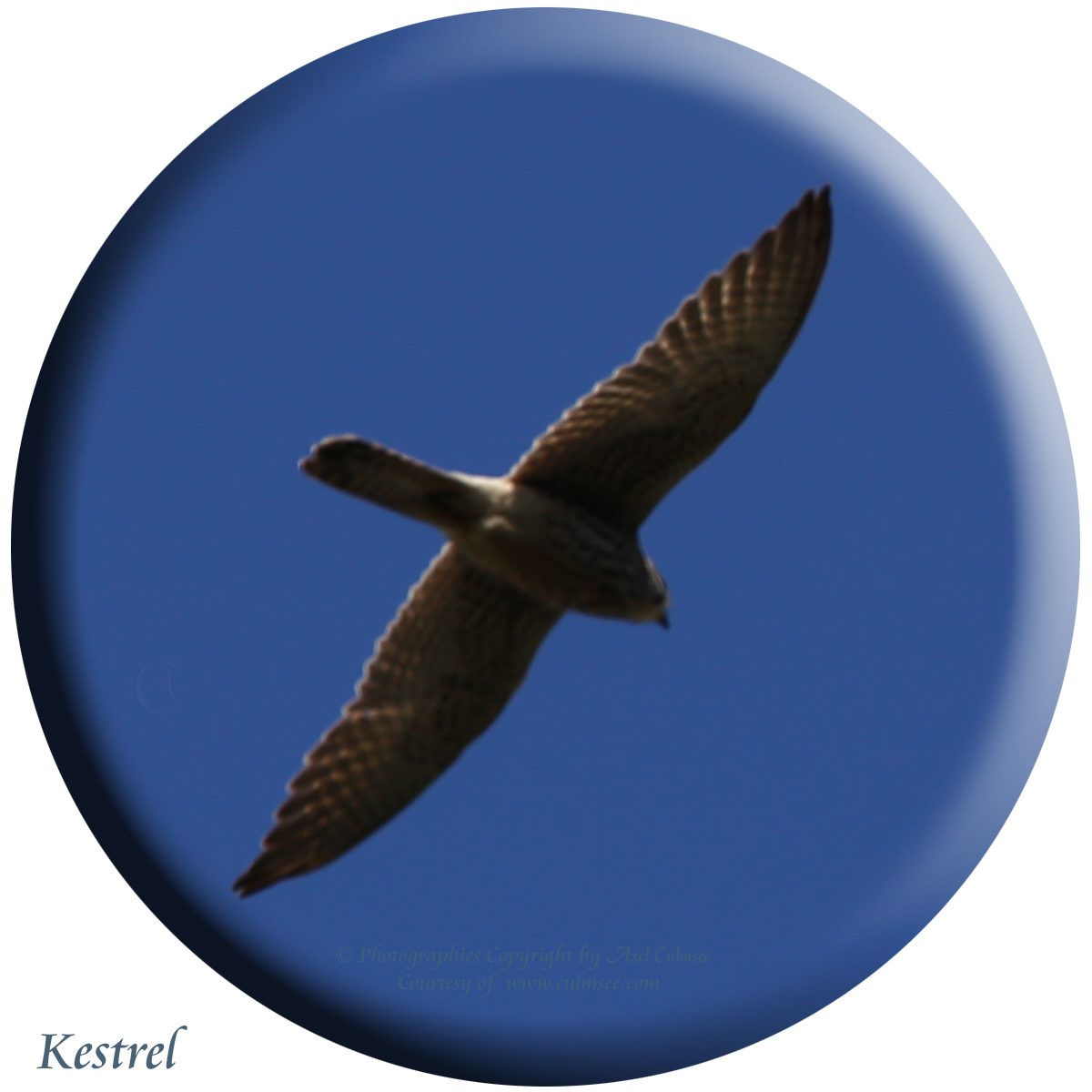 Falco tinnunculus, Kestrel, Turmfalke