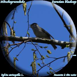 Eurasian blackcap, Moenchsgrasmuecke (Sylvia atricapilla)