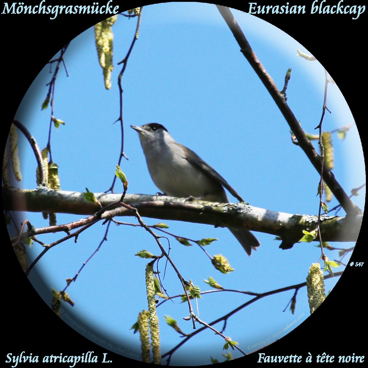 Mönchsgrasmücke / Eurasian blackcap (Sylvia atricapilla)