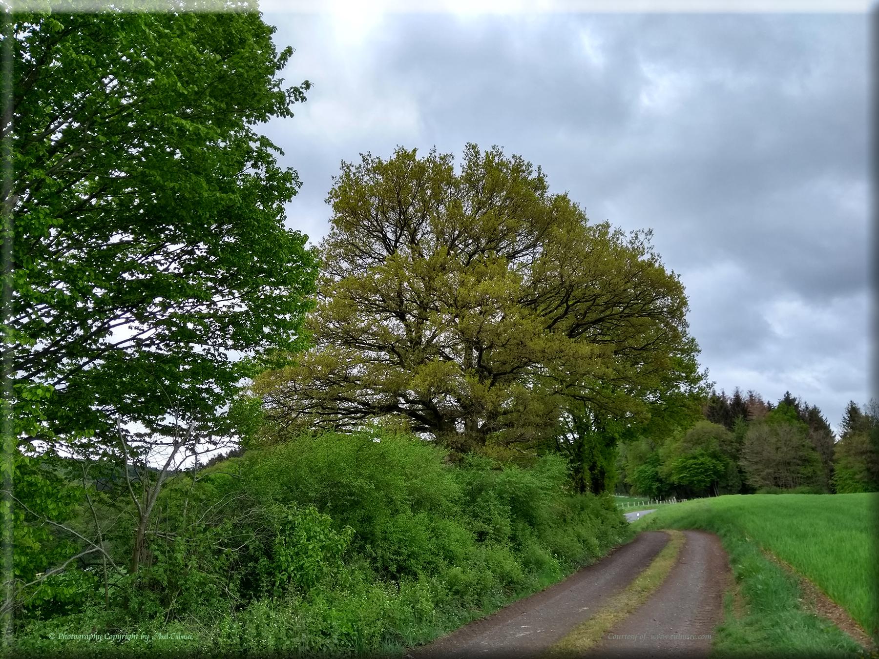 Westerwald-Baum am 1.Mai