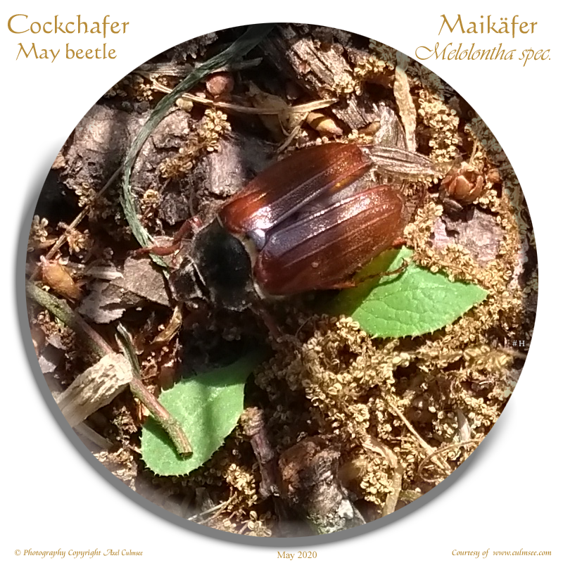 Cockchafer Melolontha spec.