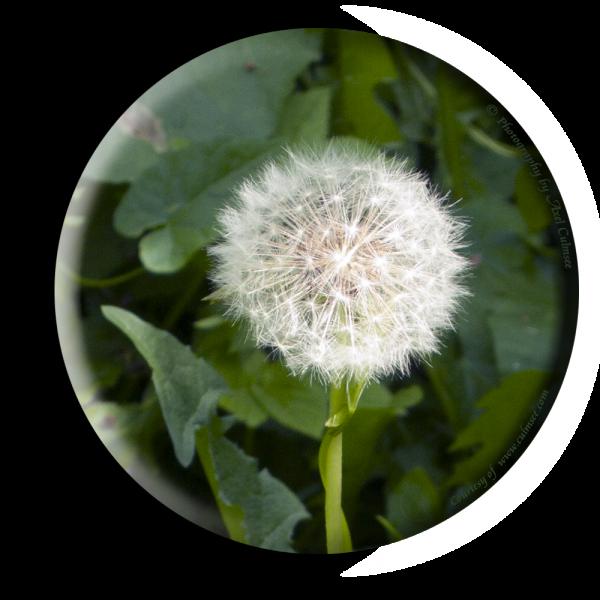 Pusteblume Löwenzahn Dandelion Taraxacum officinale