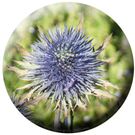 Distel-Bluete 252-qc