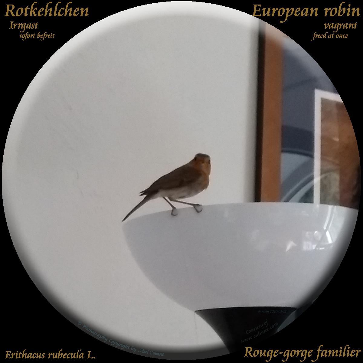 European robin (Erithacus rubecula) Rotkehlchen