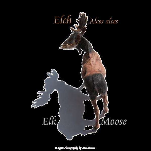 Elch Elk Moose, Alces alces