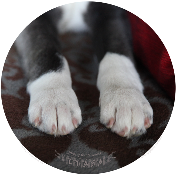 puppy Clara's feet, 9 weeks, day 12 at new home