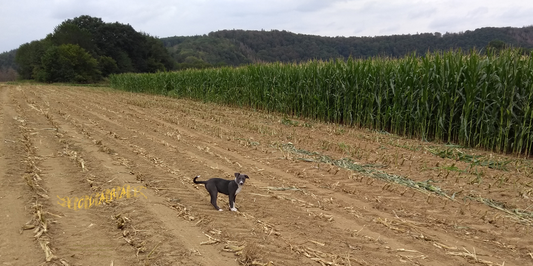 Clara, 13 weeks, at cornfield
