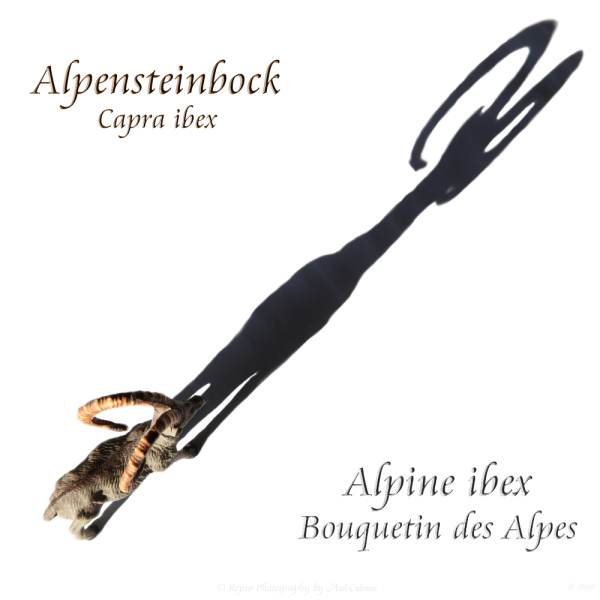 Alpensteinbock / Alpine ibex/ Bouquetin des Alpes (Massefigur, Elastolin)