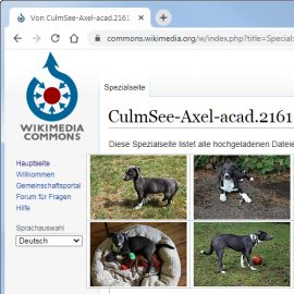 Aussiedor she-dog puppy-dog Clara at Wikimedia