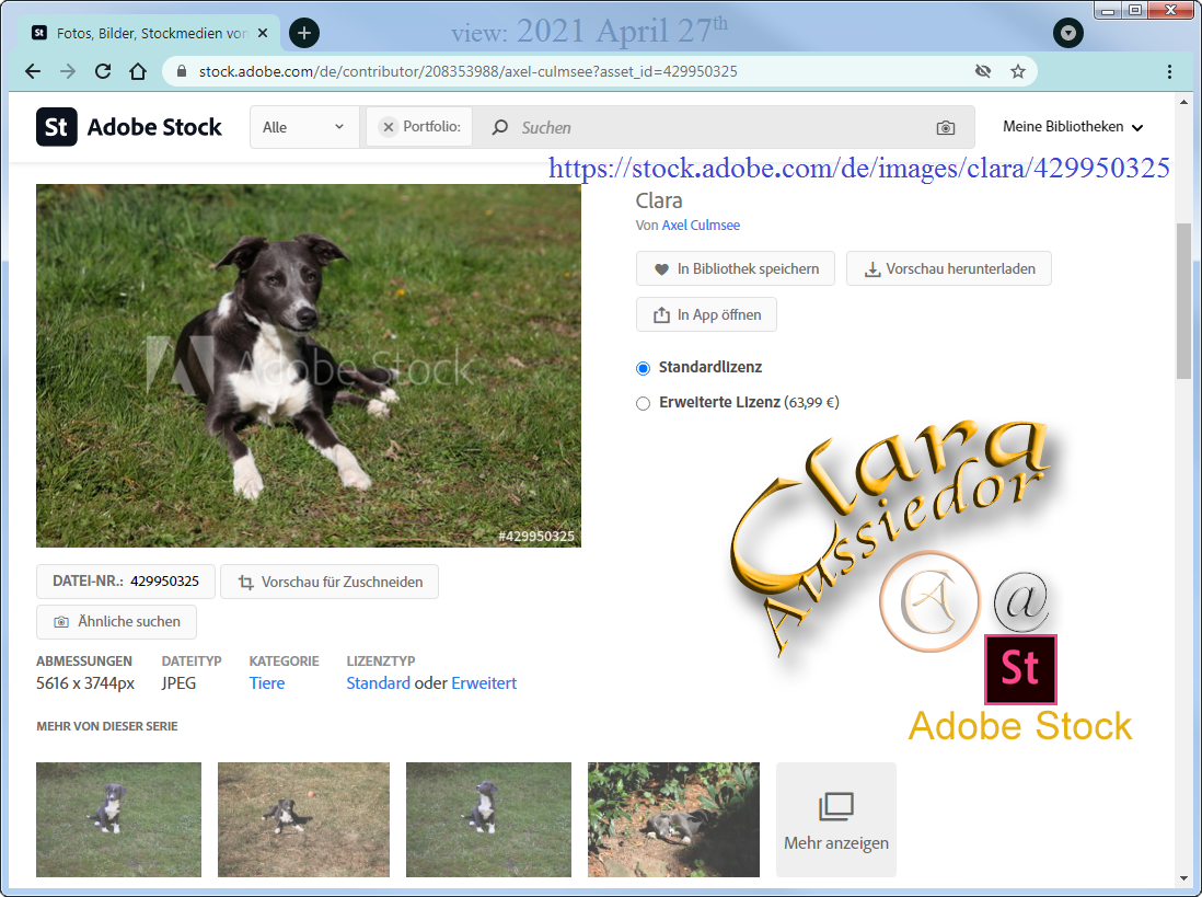 Clara Aussiedor at Adobe Stock available via searching for Australian Shepherd hybrid - nearly 11 months
