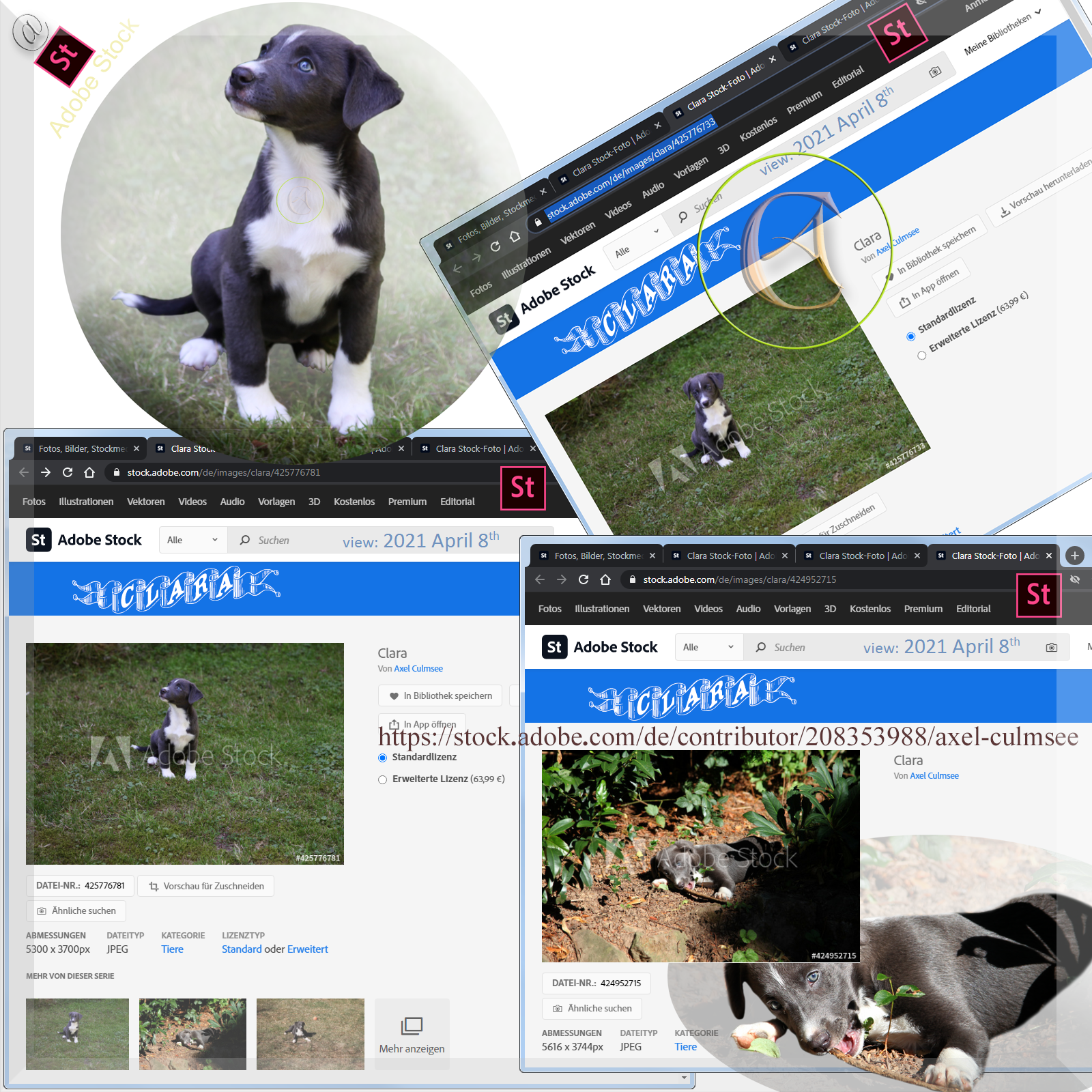 Clara Aussiedor 8 up to 10 weeks at Adobe Stock available via searching for Australian Shepherd hybrid with detail