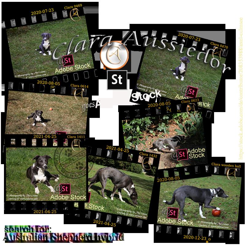 Aussiedor Clara photos via Adobe Stock