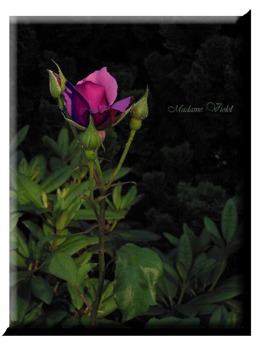 Rose Madame Violet, edited no_0671