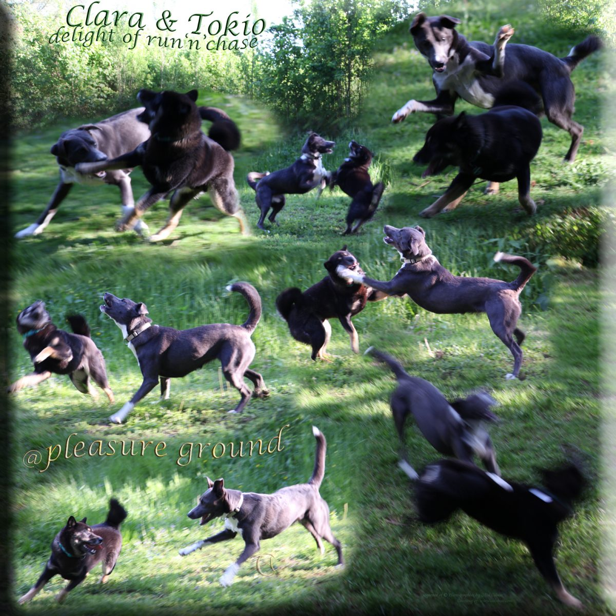 Clara and Tokio - delight of run and chase at pleasure ground - Collage and Photos by Axel Culmsee