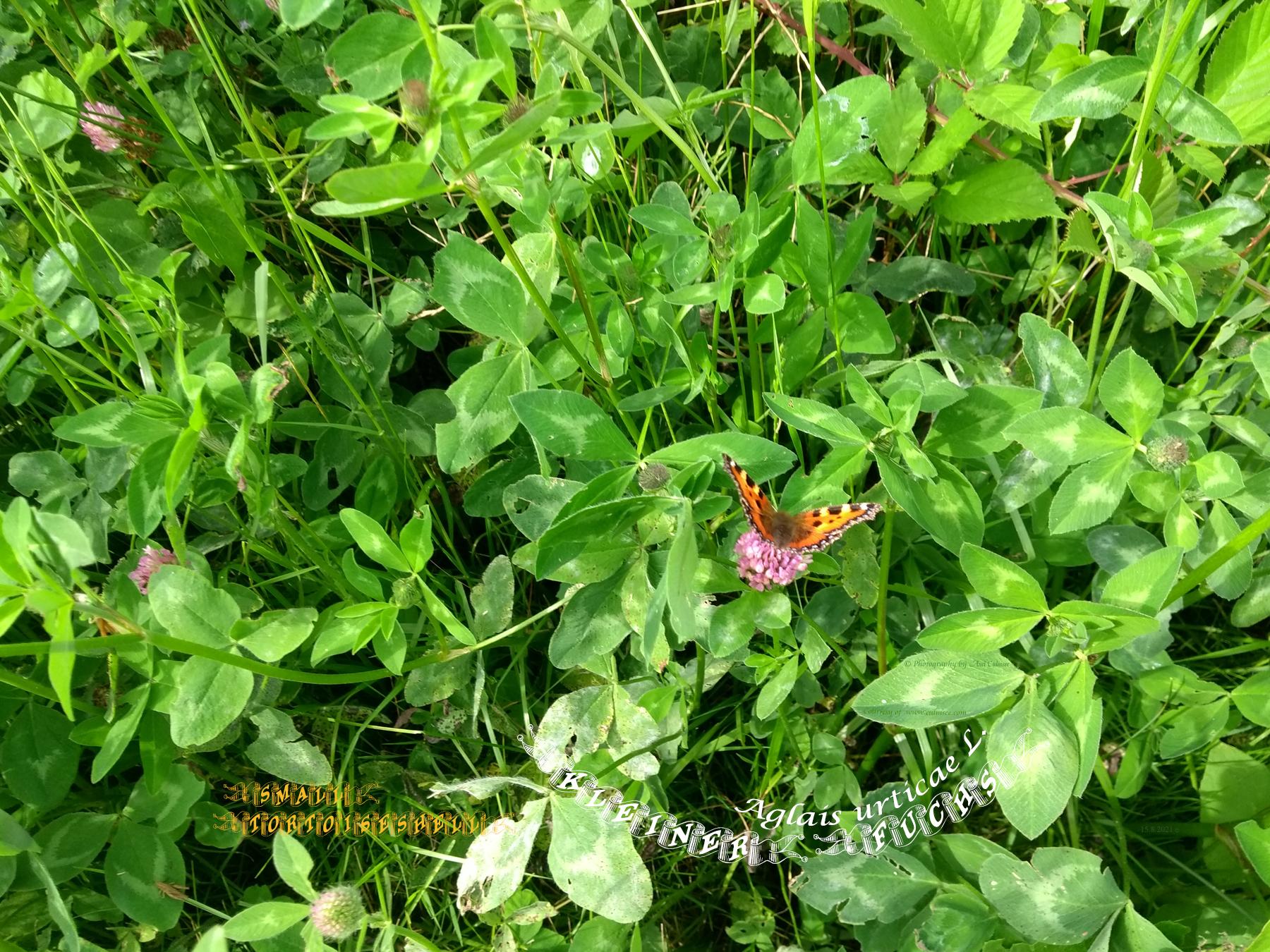 Small tortoiseshell - Kleiner Fuchs Aglais urticae L.