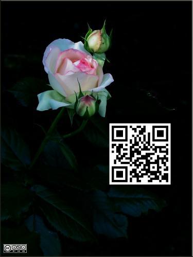 Rosa 2339 big Art mir QR-Code