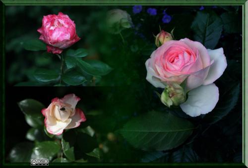 Rosen-Collage Rosa-Rot 2420 2985 2976